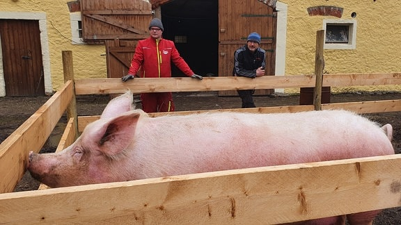 Erna heißt die Sau von Biobauer Göran Schultze. Das Meißner Landschwein gewöhnt sich gerade an ihr neues Freigehege.