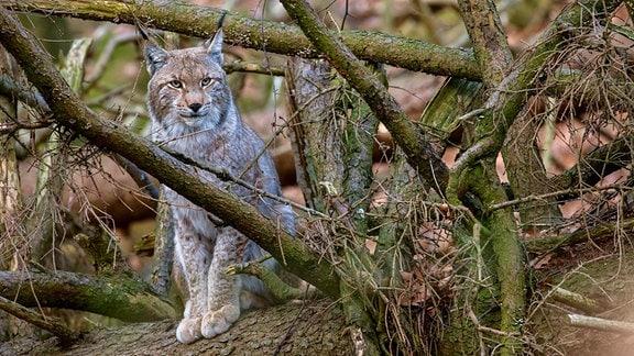 Seit dem Jahr 2000 gibt es wieder Luchse im Harz – einem Auswilderungsprojekt sei Dank.