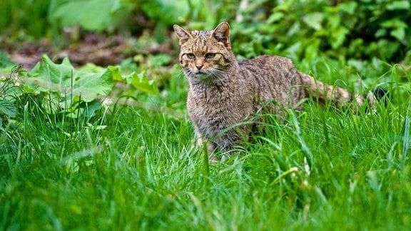 Eine Wildkatze auf einer Wiese.