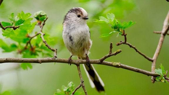 Schwanzmeisen bauen ihr Nest aus Moosen, Spinnweben und Gräsern.