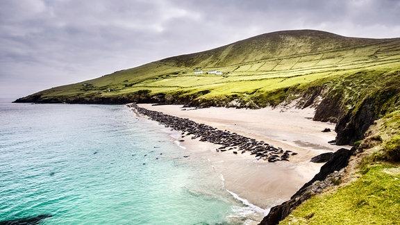 Eine Kolonie Kegelrobben im Winter am Strand von Blasket Island vor der Dingle Halbinsel. Kegelrobben können gut 20 Minuten die Luft anhalten und Tauchen bis zu 200 Meter tief, um Fische zu fangen.