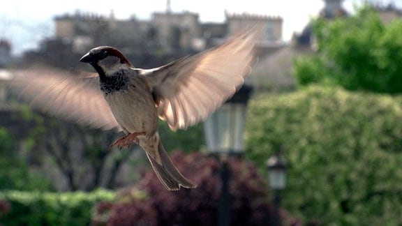 Ein Sperlingsmännchen in Paris.