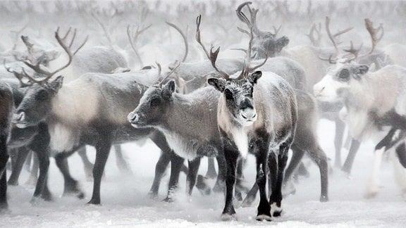 Rentiere ziehen über den gefrorenen Ob.