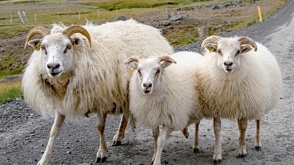 Schafe dominieren das Bild in großen Bereichen Islands