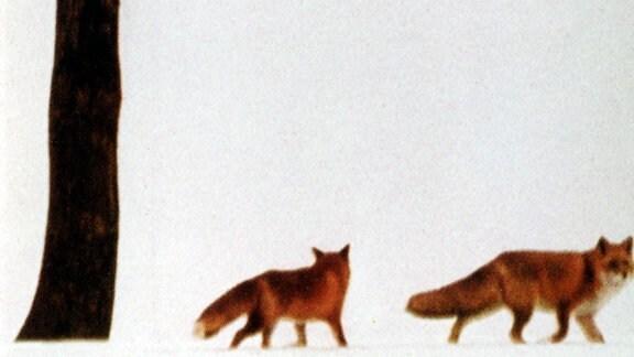 Das Fuchspärchen Flep und Leila im hohen japanischen Norden unweit des Ochotskischen Meeres.