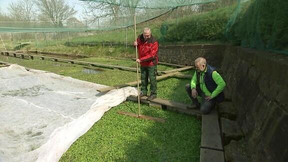 Anbau von Erfurter Brunnenkresse