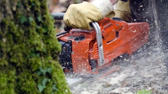Baumfällen mit Motorsäge