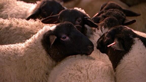 Mehrere Schafe mit schwarzen Köpfen stehen zusammen