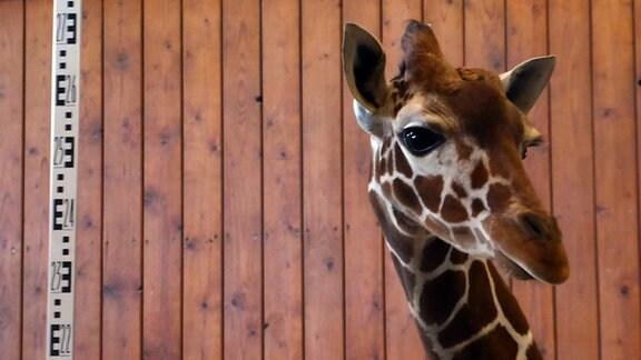 Der Kopf einer Giraffe neben einem Maßband