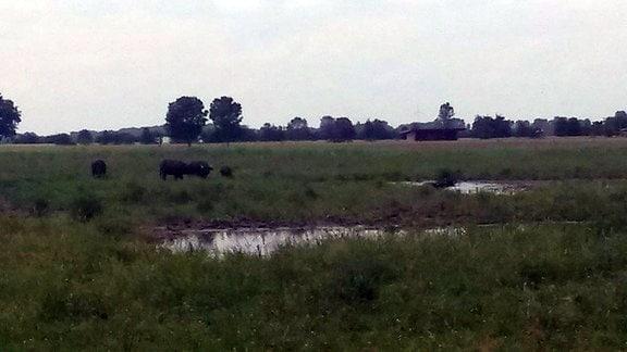 Auf einer Wiese grasen Rinder