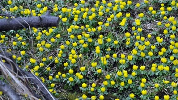 Gelbe Winterlinge auf einer Wiese.