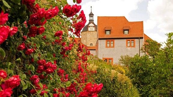 Im Hintergrund Schloss Dornburg und im Vordergrund ein großer Strauch mit vielen Rosen.