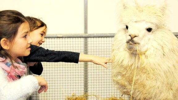 Nicky Kinder streicheln ein Alpaka