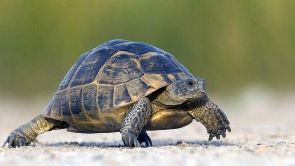 Griechische Landschildkröte mit gelb-schwarzem Panzer.
