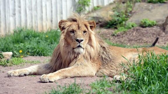 Ein Löwe liegt in seinem Gehege in der Sonne.