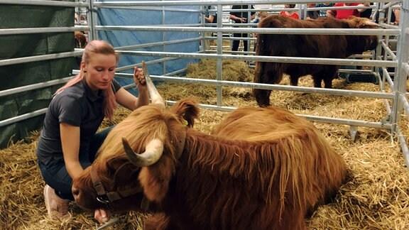 Eine Frau bürstet ein Highland Rind.