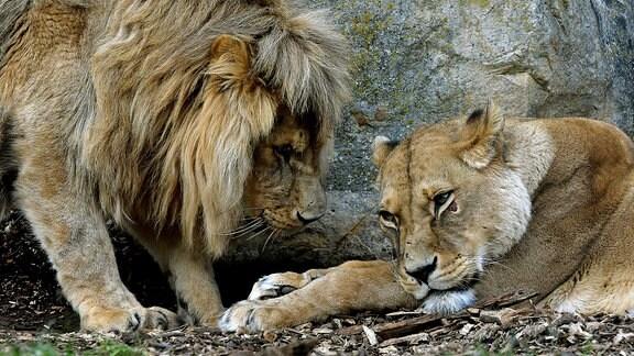 Die Löwin Ribat (rechts,14) ist im Zoopark Erfurt rätselhaft erkrankt, hier gemeinsam mit dem Löwe Bagani.