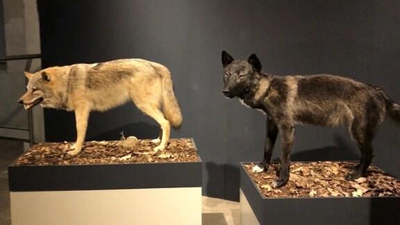 Wolfspräparat mit hellbraunem Fell und Hybrid mit schwarzem Fell in Museum