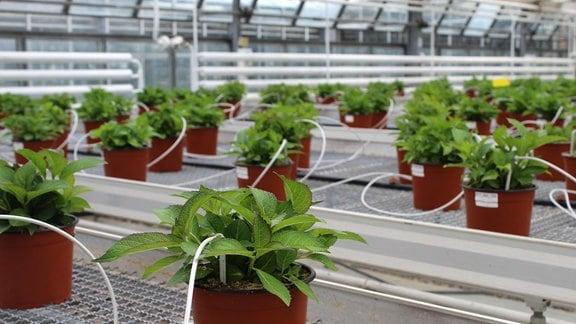 Topfpflanzen in einem Gewächshaus