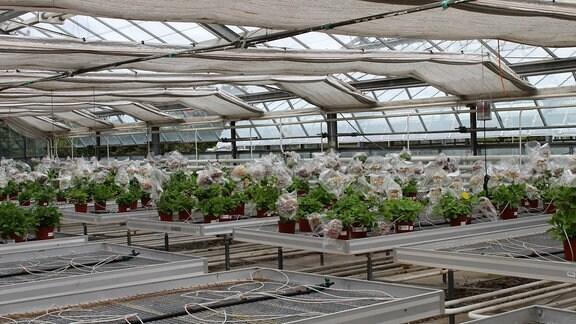 Hortensien mit in Folie gehüllten Blüten in einem Gewächshaus