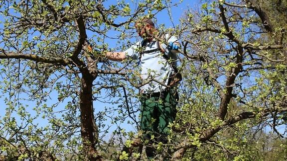 Momentan werden die letzten Obstbäume beschnitten. Norman Witte arbeitet im Baum...