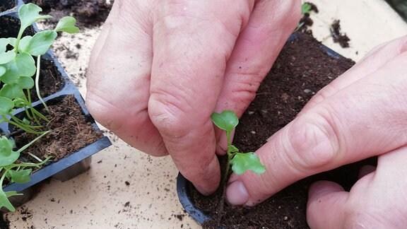 Ein Mann pikiert kleine Grünkohl-Pflanzen und vereinzelt sie in eine Plastik-Palette.