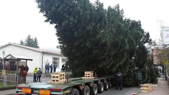 Fällen und Verladen des Weihnachtsbaums für den Erfurter Weihnachtsmarkt 2019 in Martinfeld im Eichsfeld.