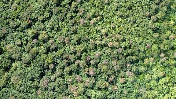 Wald mit abgestorbenen Bäumen aus der Luft