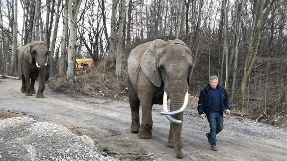 Ein Mann führt zwei Elefanten über einen Weg.