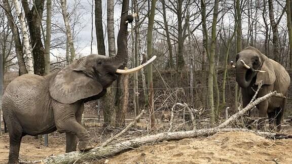 Zwei Elefanten spielen mit einem Baumstamm.