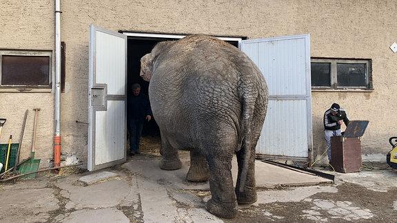 Ein Elefant geht durch ein Tor in eine Halle.