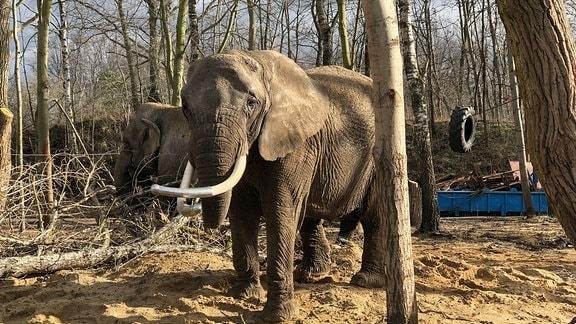Zwei Elefanten stehen zwischen Bäumen.