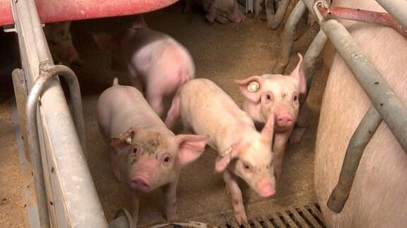 Mehrere Ferkel in einem Schweinemastbetrieb neben ihrem Muttertier.