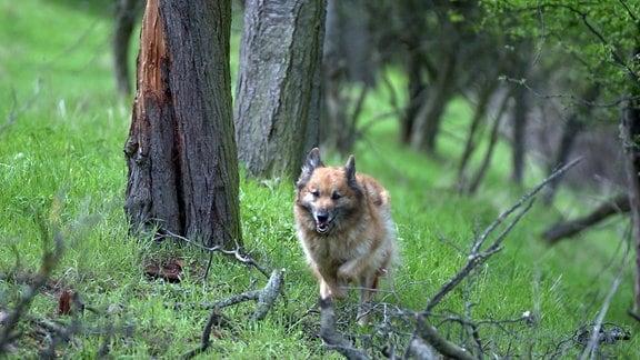 Ein Harzer Fuchs, einer der altdeutschen Hütehunde, im Wald