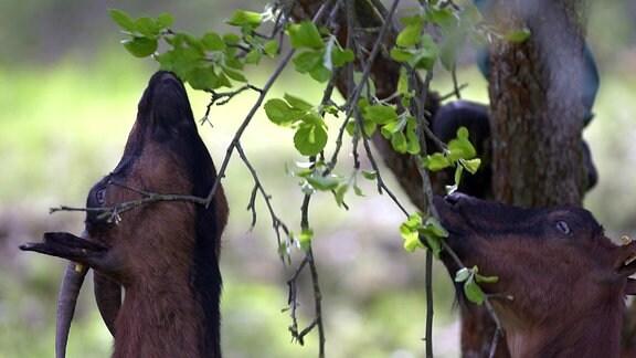 Eine Harzer Ziege frisst Apfelblüten