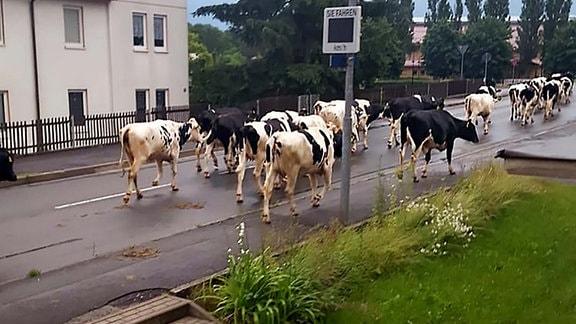 Eine Kuhherde spaziert auf der Straße durch Schleusingen.