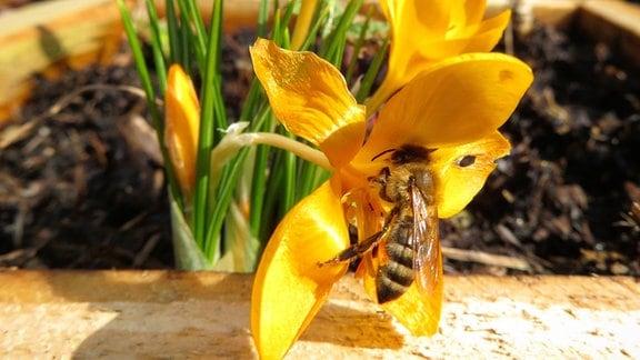Eine Biene sammelt Pollen aus einem Krokus in Floh-Seligenthal
