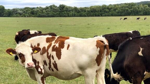 Braun- und schwarzgefleckte Kühe auf einem Feld.