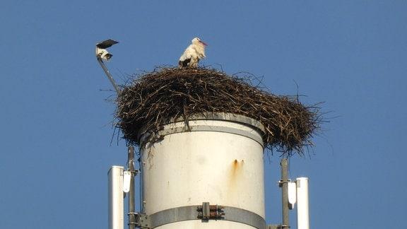 Stroch auf Nest auf einem Schornstein in Wasungen