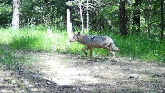Aufnahme der Ohrdrufer Wölfin bei Ohrdruf im Sommer 2020