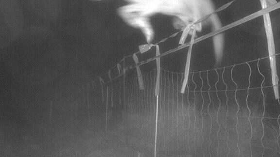 Wolf überspringt bei Nacht Herdenschutzzaun