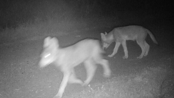 Ein Wolfsrudel ist in einer Aufnahme einer Fotofall zu sehen.