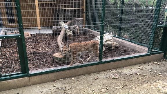 Das drei Jahre alte Weibchen ist sehr neugierig und verfolgt genau, was um ihr Gehege herum passiert - und quittiert es mit Knurren. Die Tiere stammen aus dem Bayerischen Wald und sollen in Thüringen Nachkommen zeugen