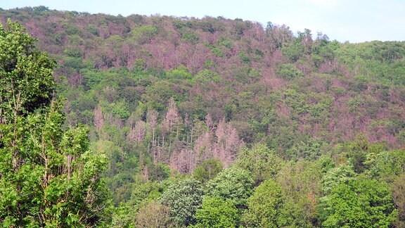Bewaldeter Hang miut vielen vertrockneten brau-graunen Bäumen