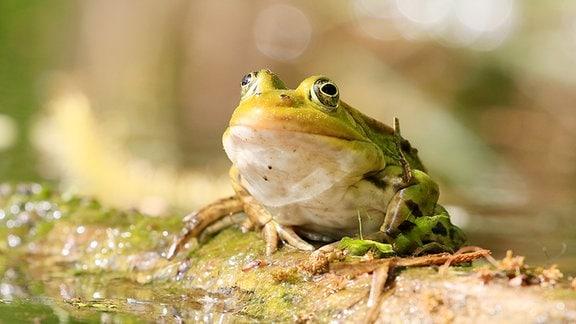 Ein Frosch sitzt auf einem Stängel.