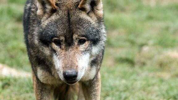 Porträt eines Wolfes