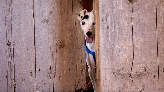 Ein kleiner Hund sieht hinter einem Torflügel hervor