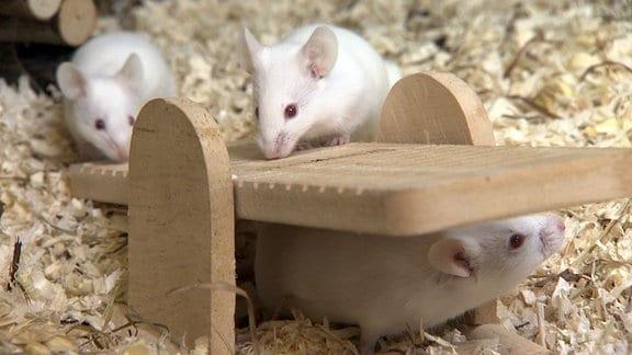 Zwei weiße Mäuse auf einer kleinen Holzwippe.