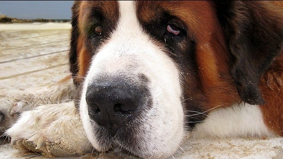 Ein Bernhardiner (Hund) schaut traurig in die Kamera