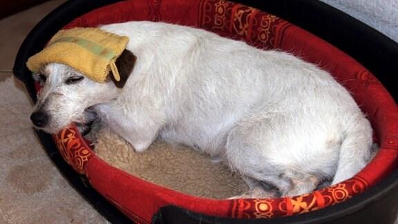 ein kranker Hund liegt mit einem feuchten Tucj auf dem Kopf in seinem Hundkörbchen